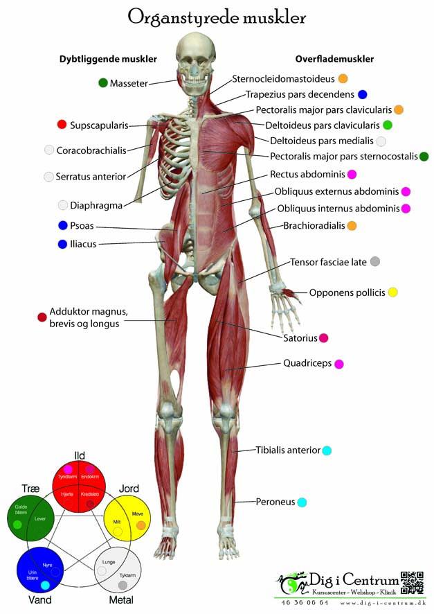 kroppens muskler oversigt