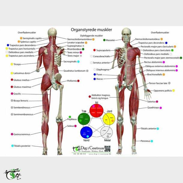 Organer oversigt kroppens KROPPENS SAMMENSÆTNING